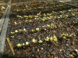 寄居北條まつりでの販売用に育てている野菜の苗