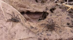 地面を歩いて捕食するコモリグモ(子守蜘蛛)