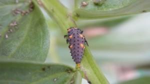 アブラムシをモリモリ食べるてんとう虫の幼虫