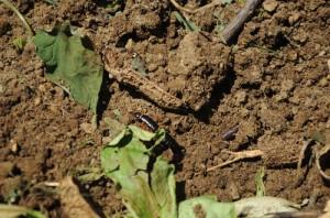 畑のお掃除屋さんハサミ虫