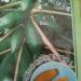 今年の目玉作物その2 露地栽培のパパイヤ