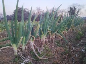 ネギの有機栽培