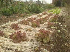 麦わらでマルチしたサニーレタスの畝