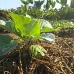 枯れ草などの有機物で作物周りの地表を覆うことで、乾燥を防ぎ、草を抑え、土の生きものに餌を与えて紫外線から守る。有機物被覆にはさまざまな効果がある。