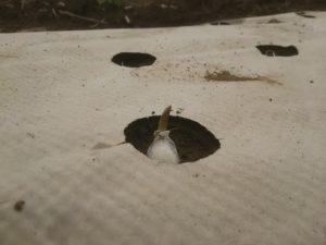 紙マルチの穴からニンニクの芽が顔を出した