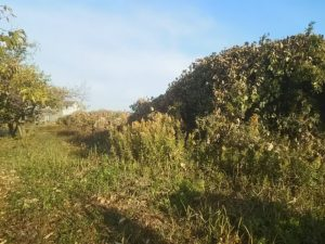 篠竹の生い茂る畑