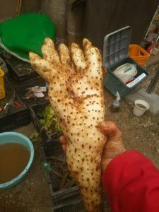 カンボジア語で「熊の手芋」と呼ばれる山芋