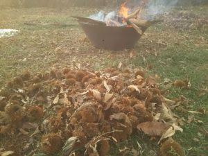 手前が集めた栗の毬(いが)、奥がそれを焼いているところ