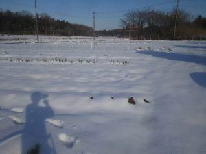 雪で真っ白になった畑
