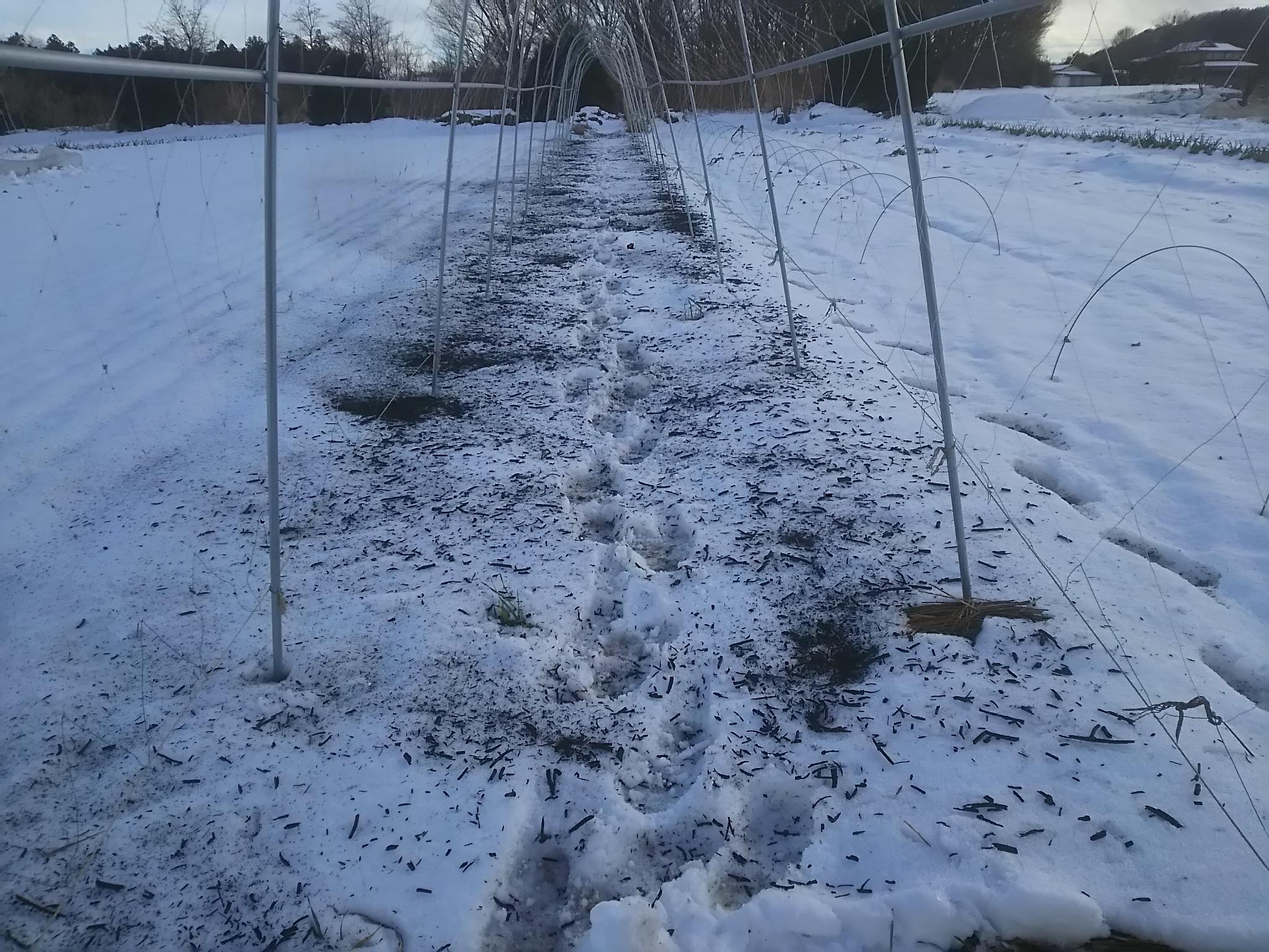 炭をまいて雪を融かす