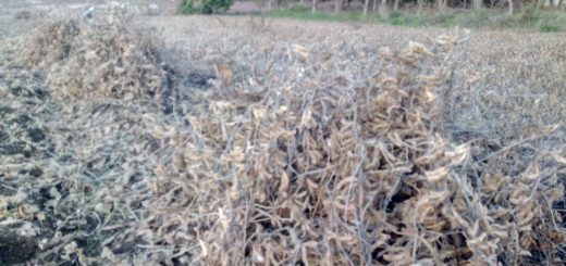 在来大豆の収穫刈り取り